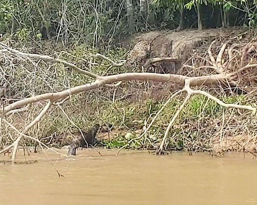 vydry-napali-na-jaguara-i-ne-dali-emu-utaschit-telo-detyonysha-foto-big