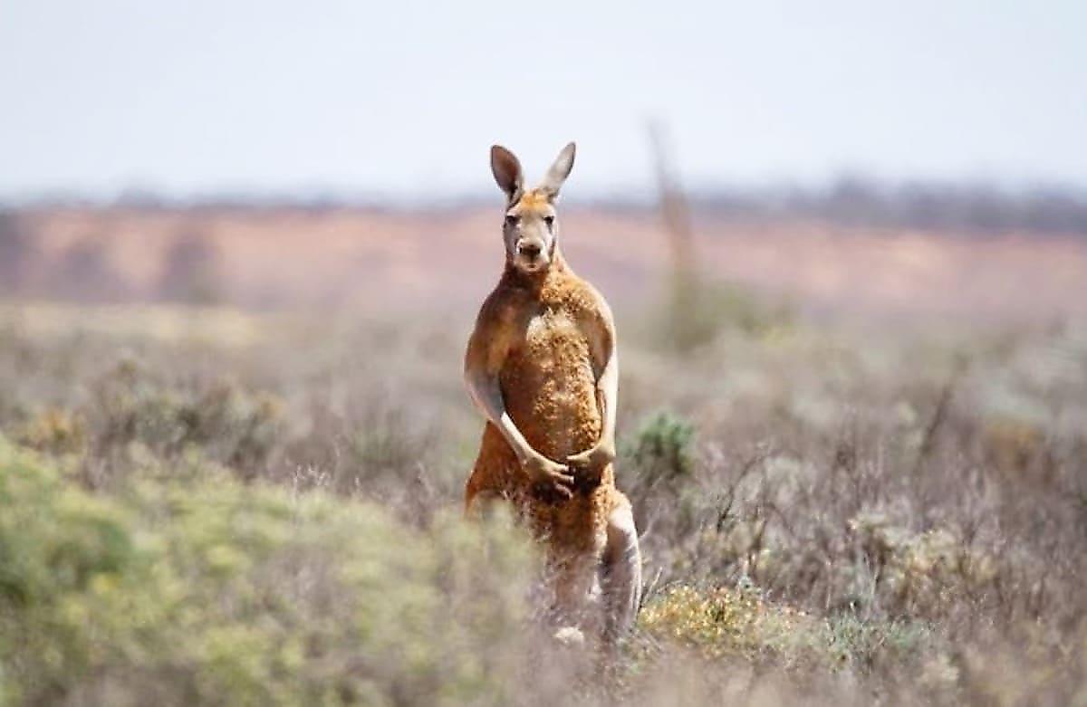 kenguru-napadavshego-na-lyudei-i-ustroivshego-beschinstva-objavili-v-rozysk-v-avstralii-foto1-big