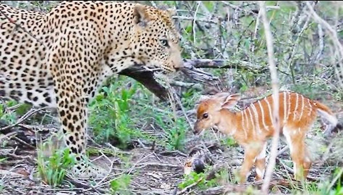 leopard-pozhalel-detyonysha-antilopy-i-na-dva-chasa-prodlil-emu-zhizn-foto-big