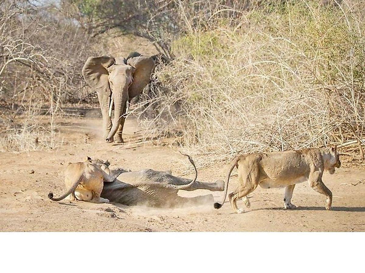 sloniha-otbila-svoego-detyonysha-u-golodnyh-lvic-v-zimbabve-foto-big