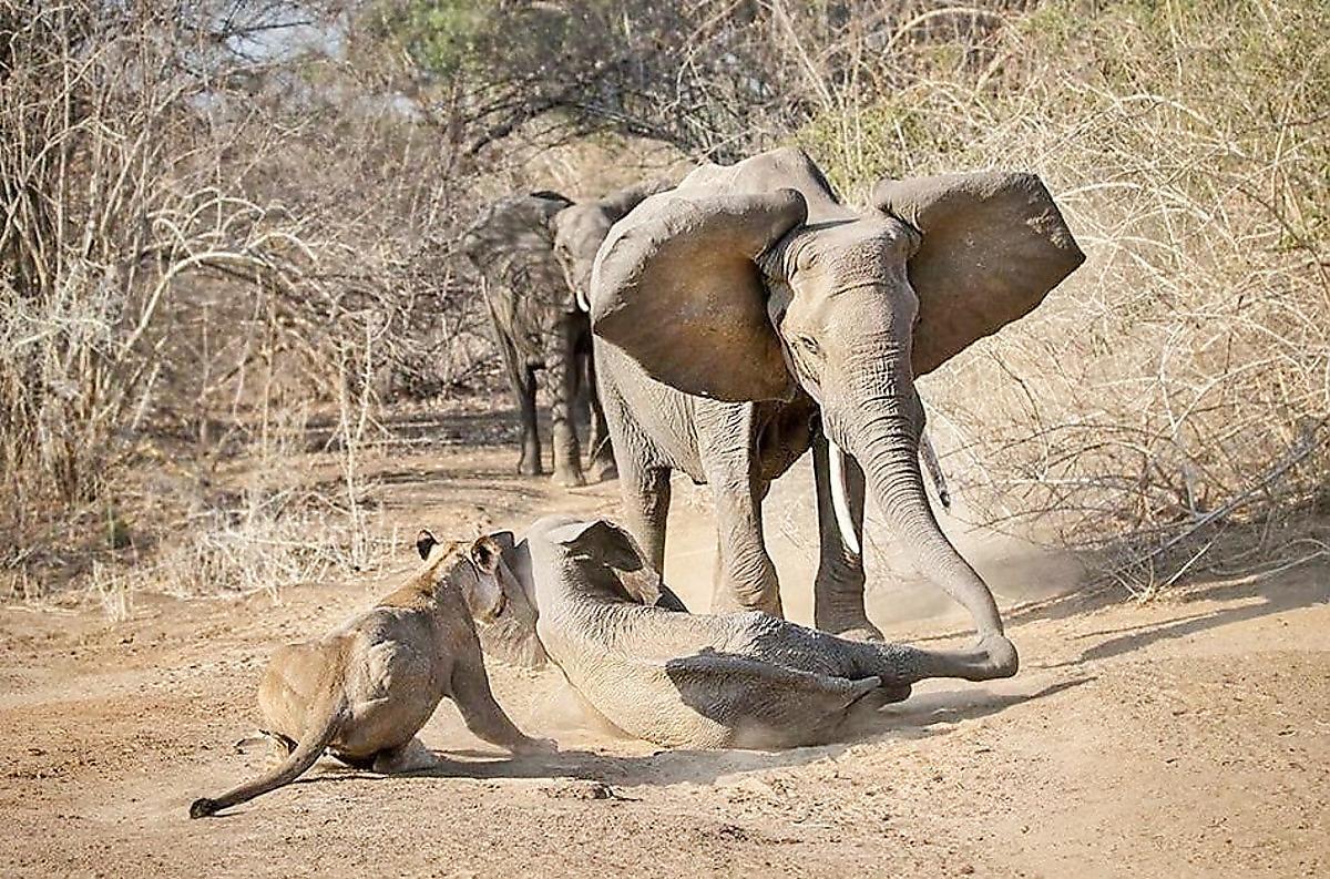sloniha-otbila-svoego-detyonysha-u-golodnyh-lvic-v-zimbabve-foto2-big