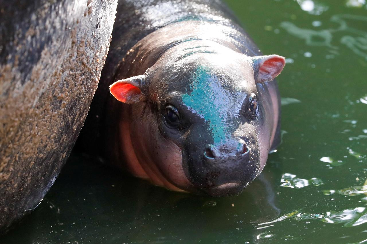 A-month-old-baby-pygmy-hippo-Thailand