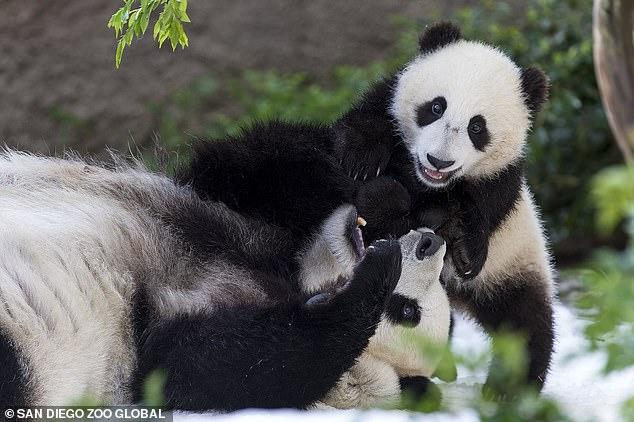62450-الصين-تستعدى-الدببة-من-أمريكا-بعد-23-عاما-(3)