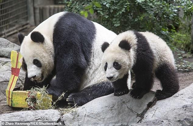 76736-الصين-تستعدى-الدببة-من-أمريكا-بعد-23-عاما-(2)