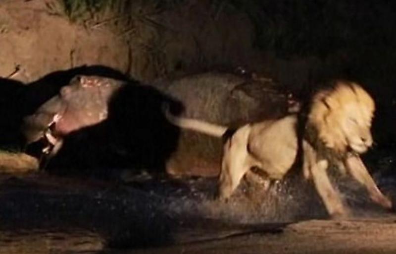 lvy-vybrali-dobychu-ne-po-zubam-napav-na-begemota-v-afrikanskom-zapovednike-foto2-big