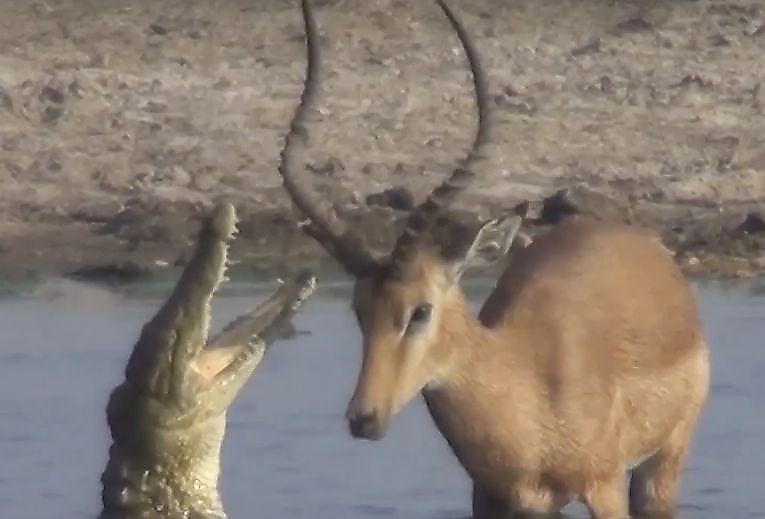 bednaja-antilopa-ubezhav-ot-krokodila-dostalas-dikim-sobakam-v-afrike-foto-big