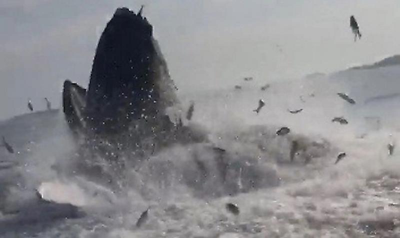 vynyrnuvshii-kit-isportil-rybalku-angliiskomu-rybaku-foto-big