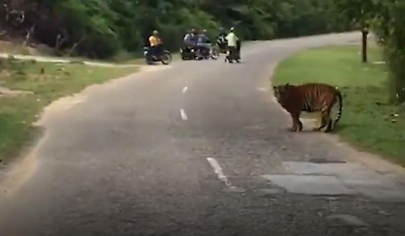 tigry-sovershili-puteshestvie-po-malaiziiskoi-derevne-na-glazah-u-shokirovannyh-mestnyh-zhitelei-foto2-big