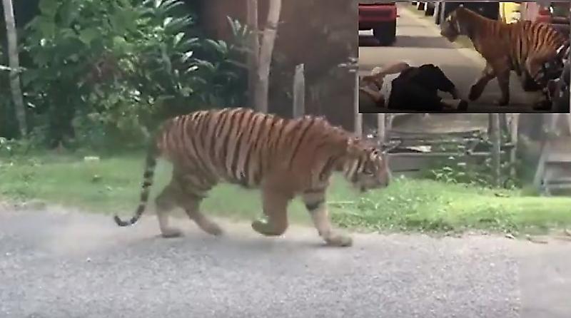 tigry-sovershili-puteshestvie-po-malaiziiskoi-derevne-na-glazah-u-shokirovannyh-mestnyh-zhitelei-foto-big