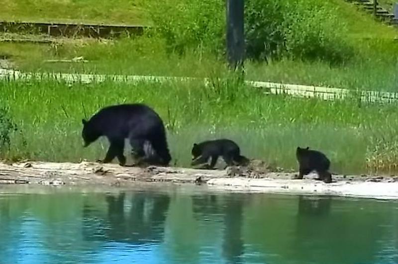 medvedica-spasla-tonuschego-medvezhonka-v-kanadskom-ozere-foto2-big