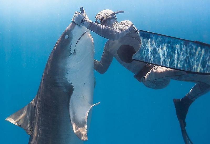 daiver-prilaskal-tigrovuyu-akulu-na-dne-tihogo-okeana-foto2-big