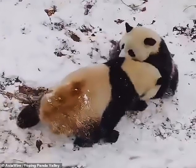 23155278-7865435-The_two_adorable_pandas_were_caught_on_camera_at_Foping_Panda_Va-m-116_1578501311383