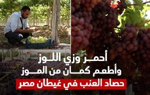 أحمر وزي اللوز وأطعم كمان من الموز.. حصاد العنب في غيطان مصر