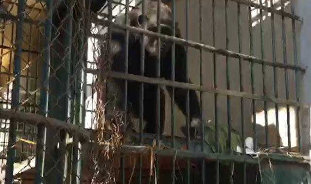 """القردة """"لوزة"""""""
