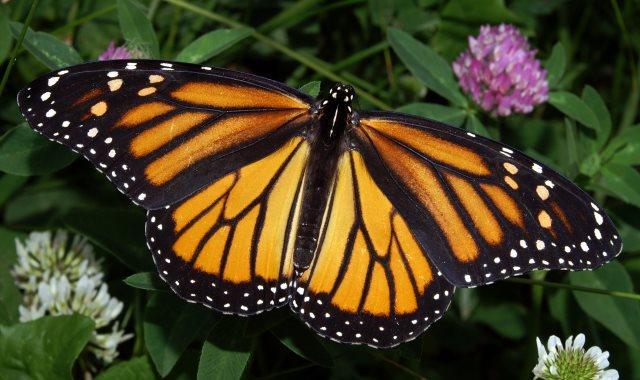 الفراشة الملكية