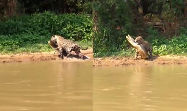 انقضاض نمر علي تمساح