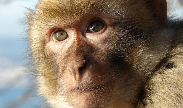 أحد القرود من فصيلة أورانجوتان