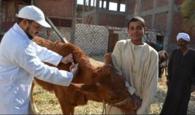 تحصين ماشية