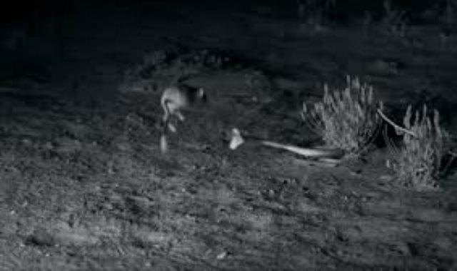هجوم ثعبان على فأر