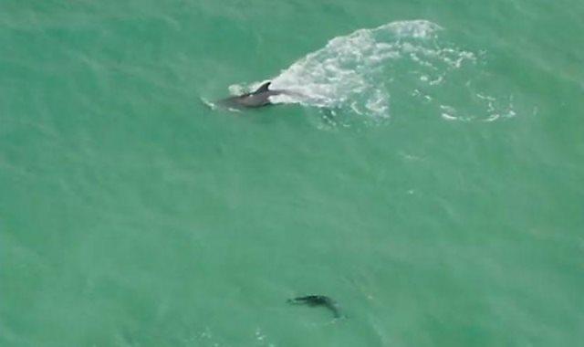 أنثى الدولفين تعلم صغيرها السباحة