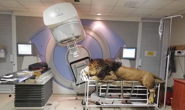الأسد أثناء تلقي العلاج
