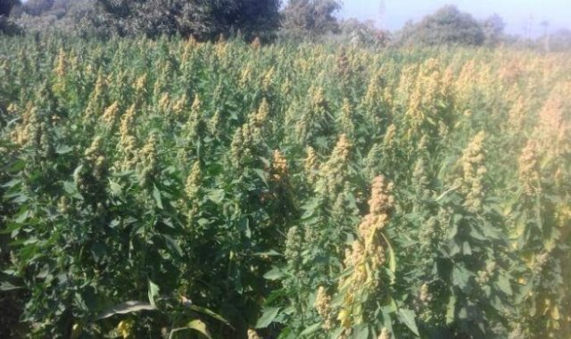 محصول الكينوا