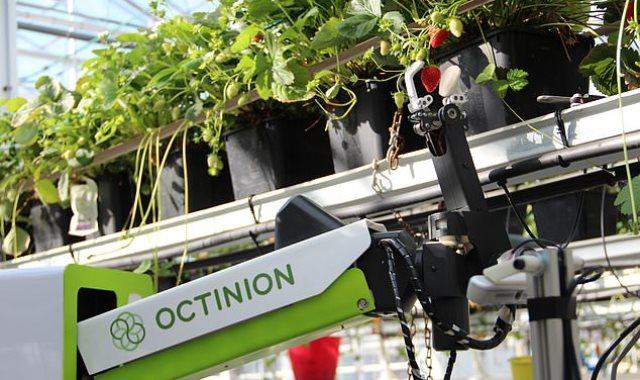 روبوت يلتقط ويفرز الفراولة