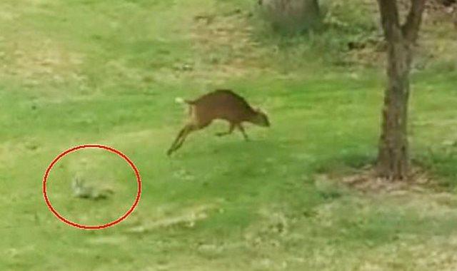 الغزال يهرب من السنجاب