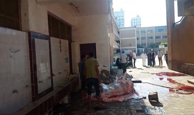 مواطن يستغل مدرسة ببنها ويذبح بها عجلا