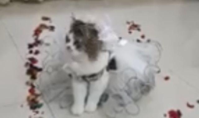 حفل زفاف قطة