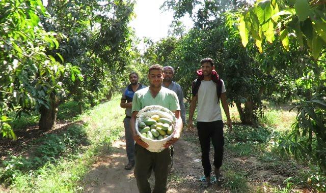 مزارع المانجو في الاسماعيلية