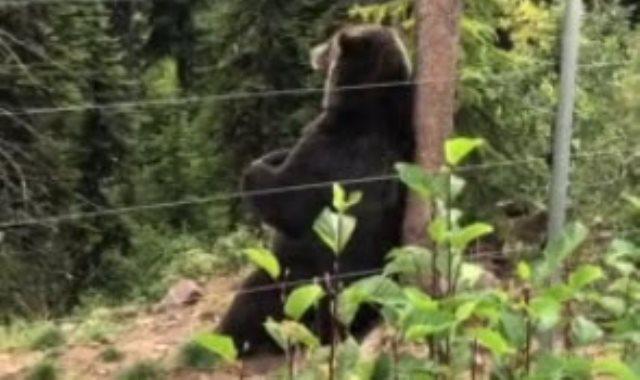 الدب بوو