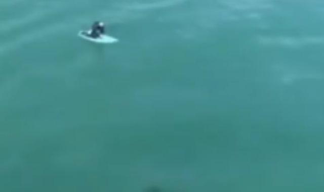 ركوب الأمواج وسط أسماك القرش