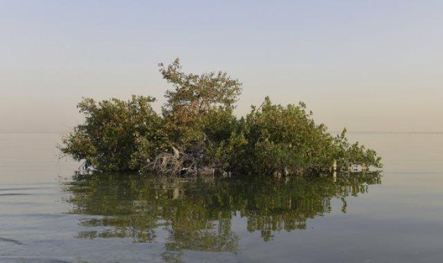 شجرة القرم