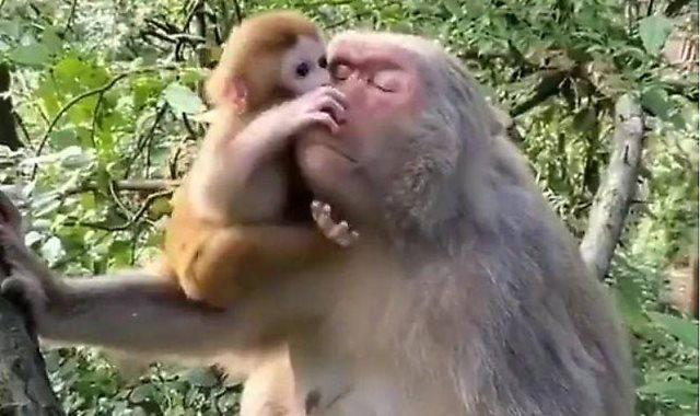 القردة تداعب صغيرها