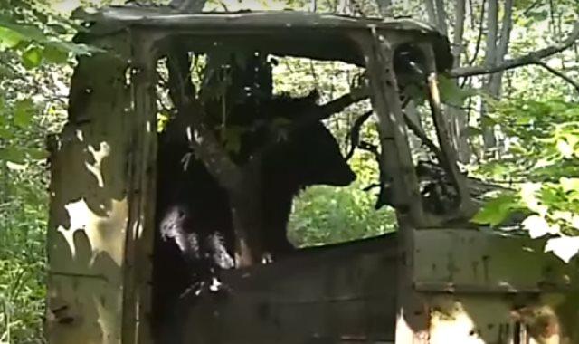 الدب في الشاحنة القديمة