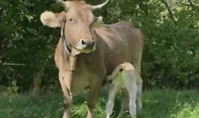 البقرة بعد انجابها