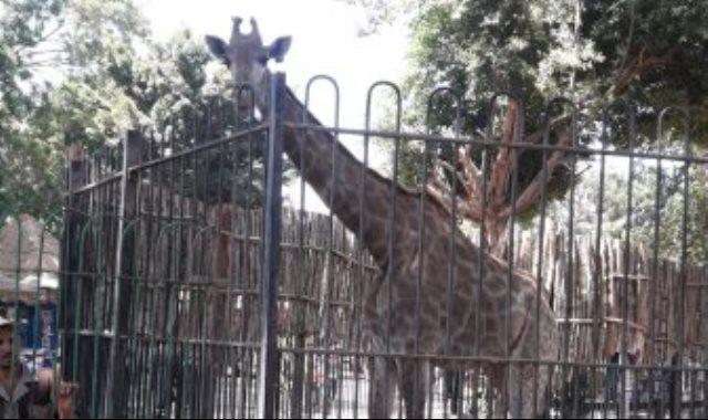 زرافة بحديقة الحيوان