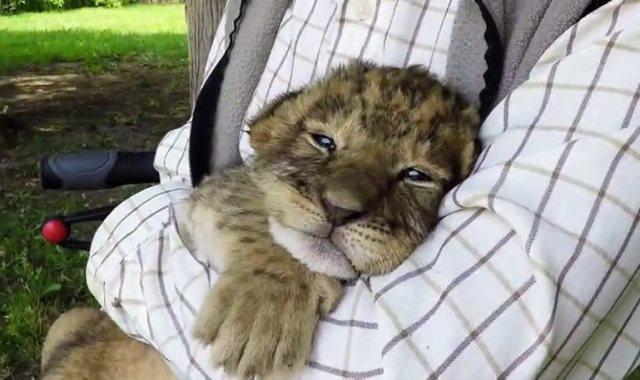 نمر صغير