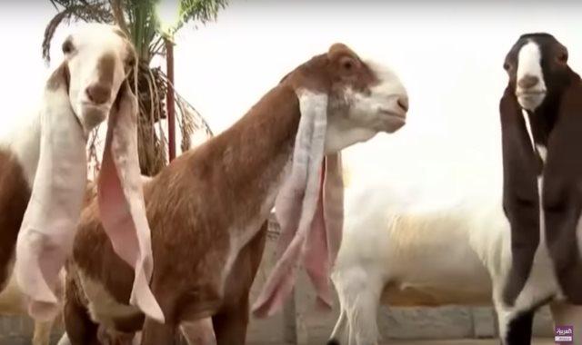 الماعز الحجازي