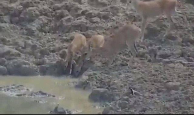 الغزلان قبل هجوم الثعبان