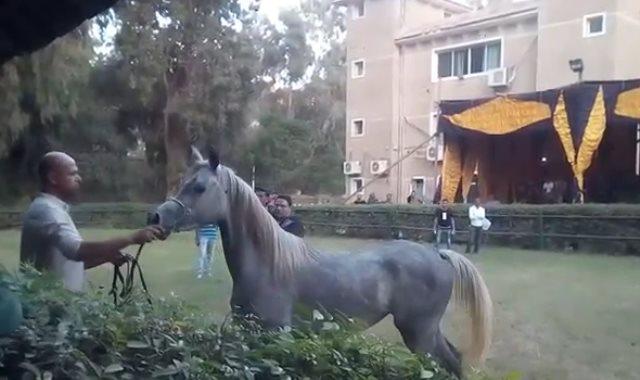 """الفرسة """"دولامة"""" الأغلى بمزاد خيول وزارة الزراعة بـ 819 ألف جنيها"""