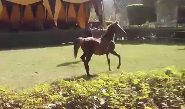 بدء مزاد وزارة الزراعة لبيع 27 حصانا