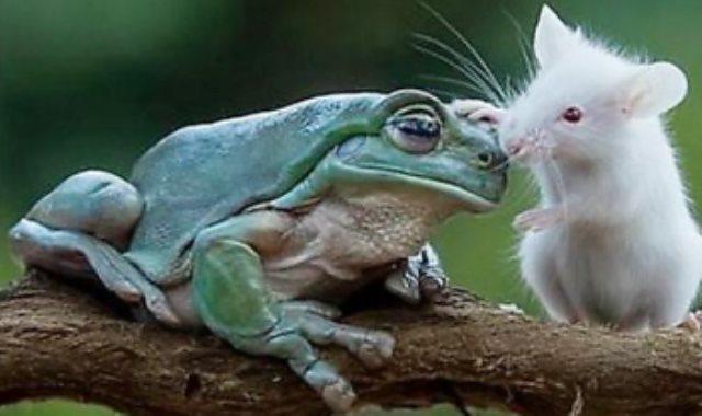 الفأر والضفدعة