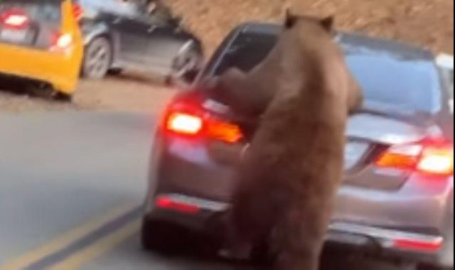الدب يبحث عن الطعام