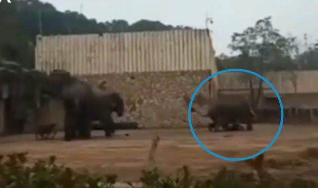 فيل غاضب يدهس حارسه حتى الموت فى الصين