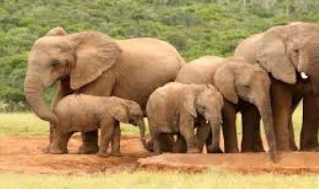 الفيل