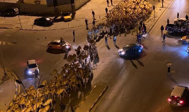إبل فى شوارع طرابلس