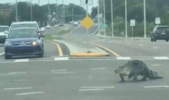 تمساح فى فلوريدا