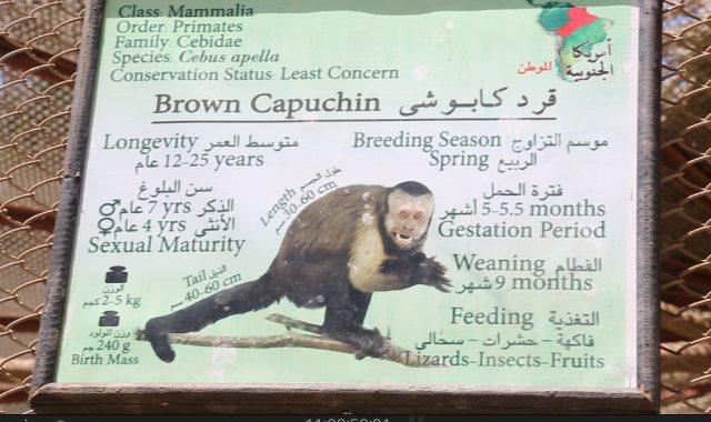 لقرد الكابوتشى